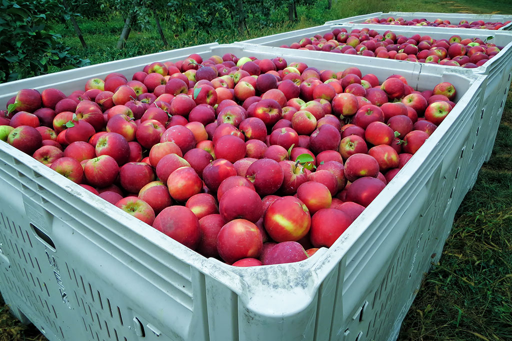 Bins of apples at the Historic Round Barn