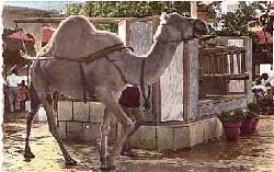 puits du saf saf, le chameau dromadaire