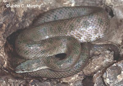 Boa pequeña haitiana Tropidophis haetianus