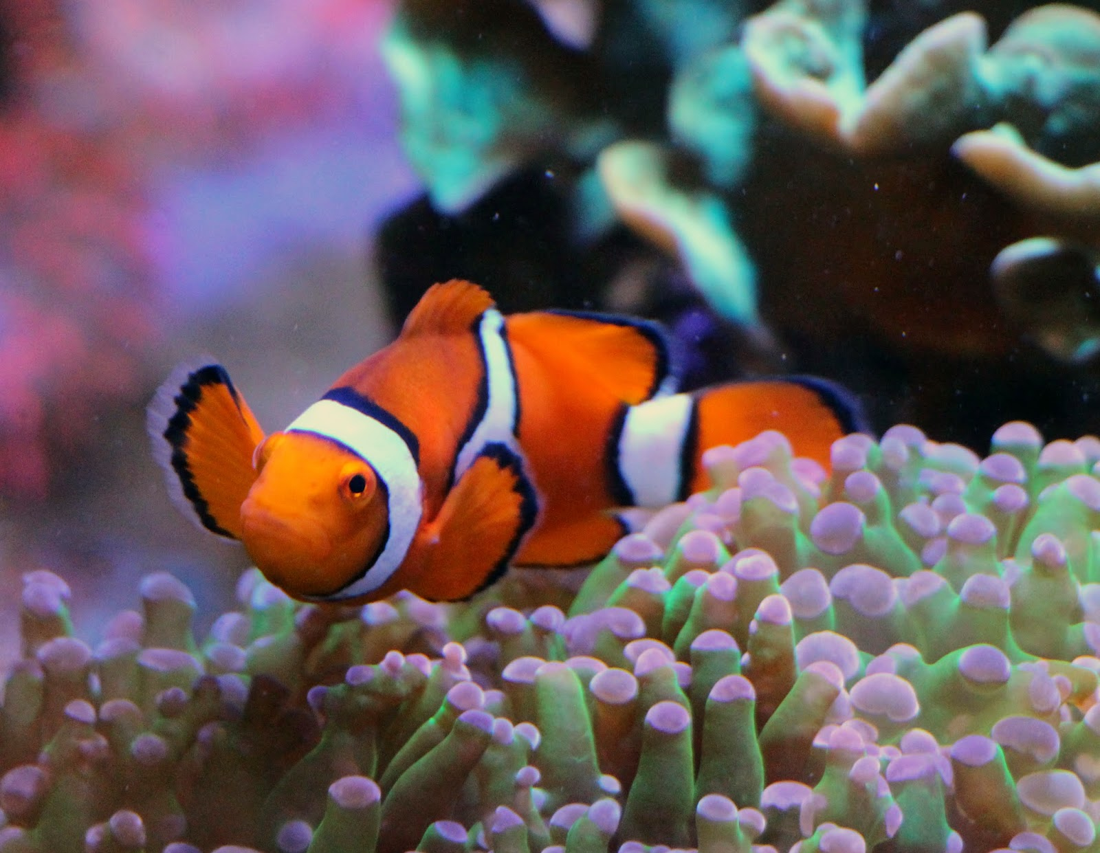 Tips to get clownfish to use a host anemone marine depot for Clown fish habitat