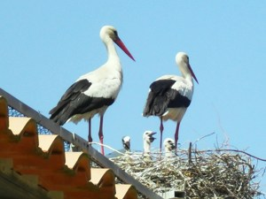 Wheelchair Travel - Disabled Access Parc Ornithologique, Camargue Baby Storks