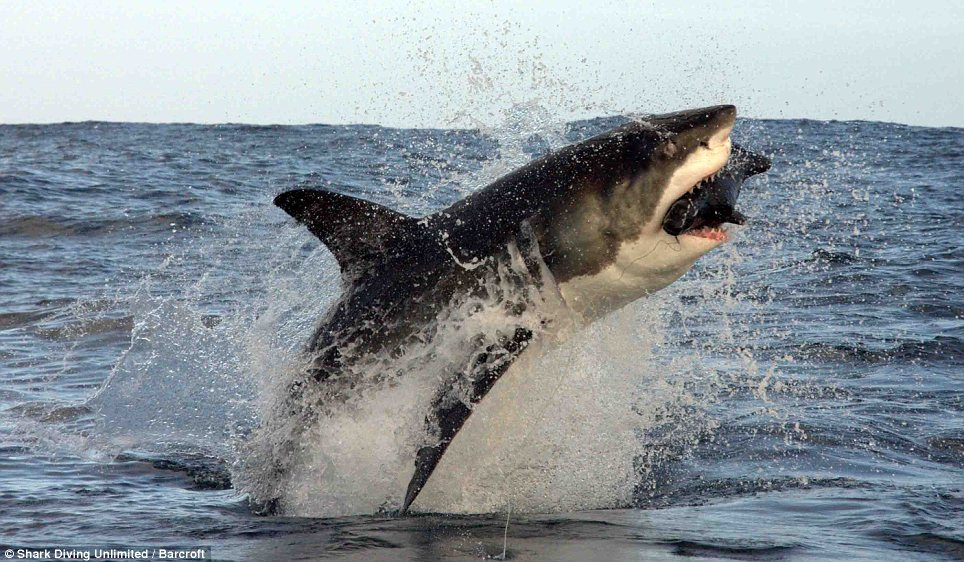 jawsdropping great white shark takes to the air to