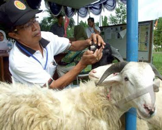 bagaimana memeriksa dan memilih hewan kurban yang sesuai syariat dan sehat