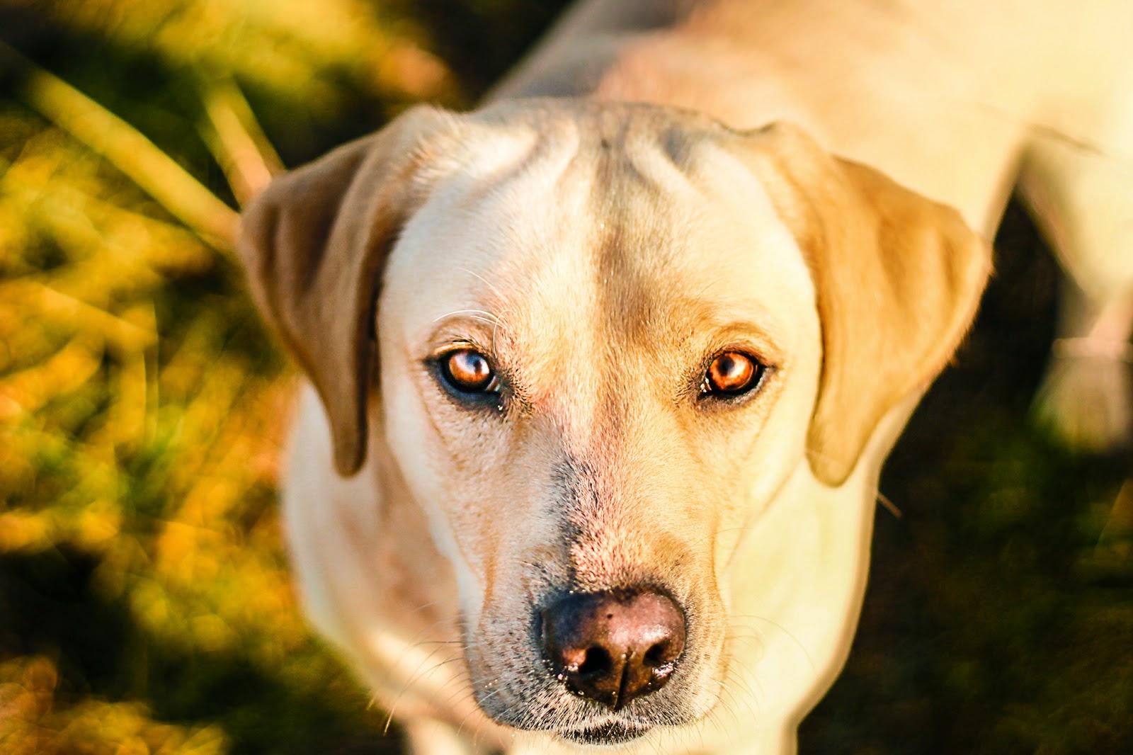 pies patrzący biszkoptowy labrador