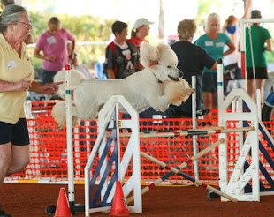 thomas at November 2011 AKC Agility Trial in Standard Class