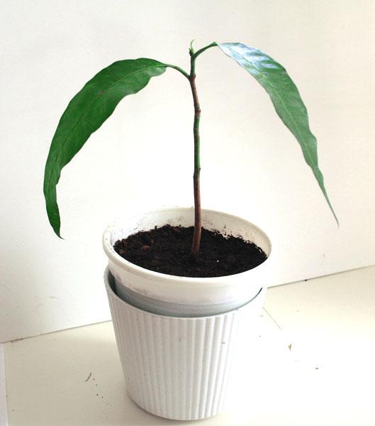 росток манго