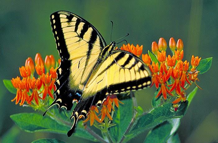 Biblio Butterfly