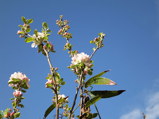 White apple blossom against a blue sky.