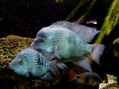 Cichlid the life of animals for Texas non game fish