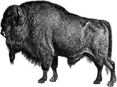 bison, gravure, corne, barbiche