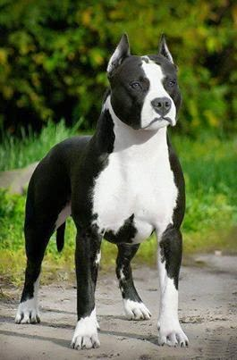 Cute Best American Pit Bull Terrier
