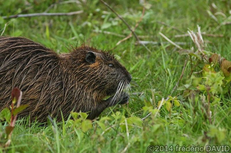 animaux ragondin nature rongeur Seine-et-Marne