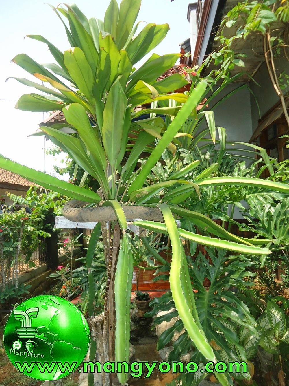 Menanam pohon buah naga di halaman rumah. Poto jepretan Admin