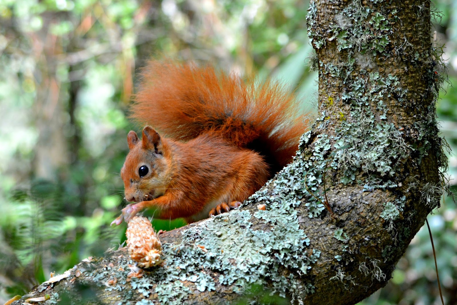 Red squirrel in Tresco Abbey Gardens on Isles of Scilly