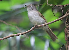 Brown Fulvetta_2011