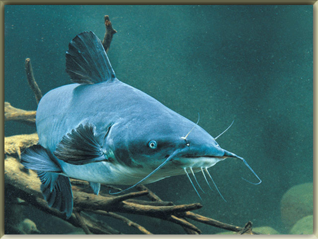 List Of Freshwater Fish Beginning With B Animals Name A To Z
