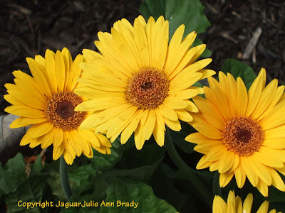Three Pretty Yellow Gerbera Daisy Blossoms