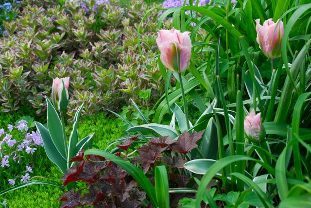 Tulip 'China Town' in Cherry Corner garden with dark Heuchra 'Palace Purple' and variegated loosestrife, Lysimachia punctata 'Alexander'.