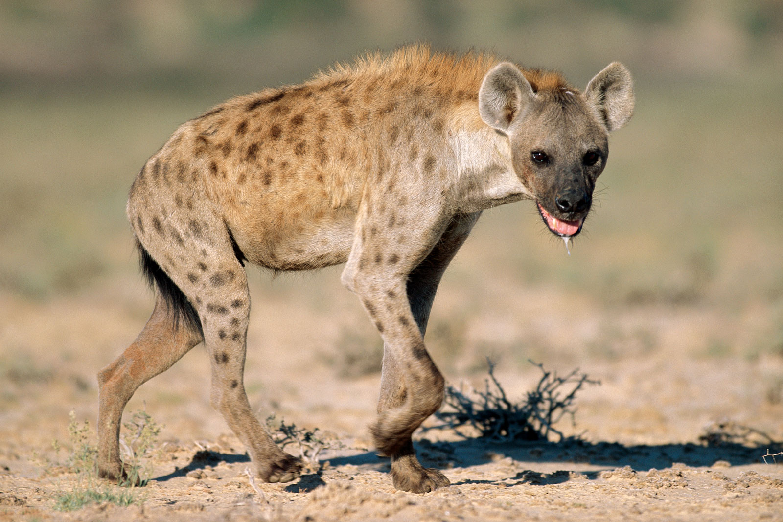 Image of: Brown Hyena Hyena Doglike But Like No Dog Anyone Would Want As Pet Step Into My Shoes Hyena Doglike But Like No Dog Anyone Would Want As Pet Step
