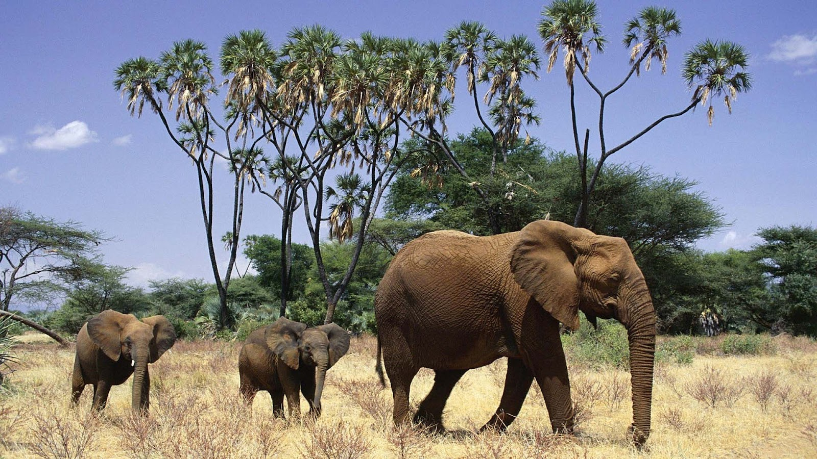 gallery for african elephant backgrounds