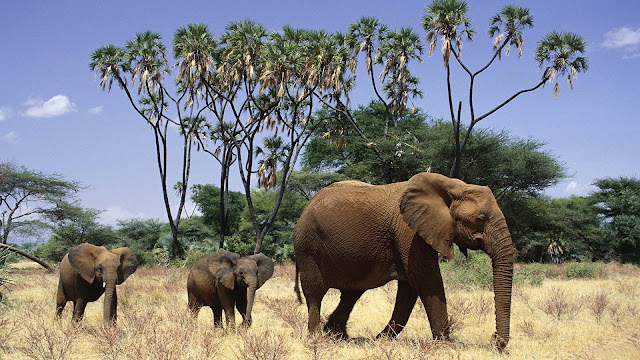 Wallpaper with African elephants with mother and his young elephants