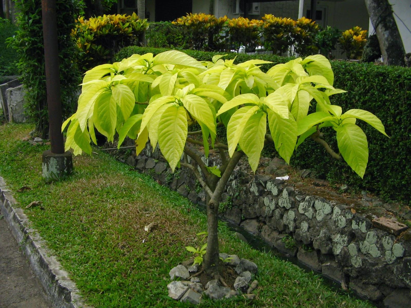 Jual pohon kol banda | aneka tanaman | tanaman hias | jasa desain taman