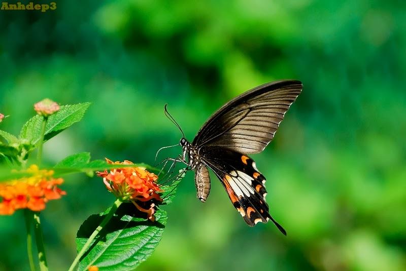Con bướm đậu nhành hoa