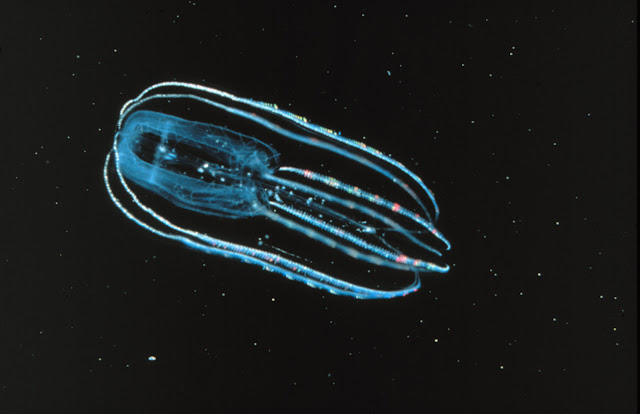 https://upload.wikimedia.org/wikipedia/commons/7/77/Ctenophore_-_Bolinopsis_infundibulum.jpg