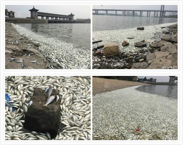 8月20日,天津爆炸后一周,天津滨海新区海河闸岸边惊现大量死鱼(网络图片)