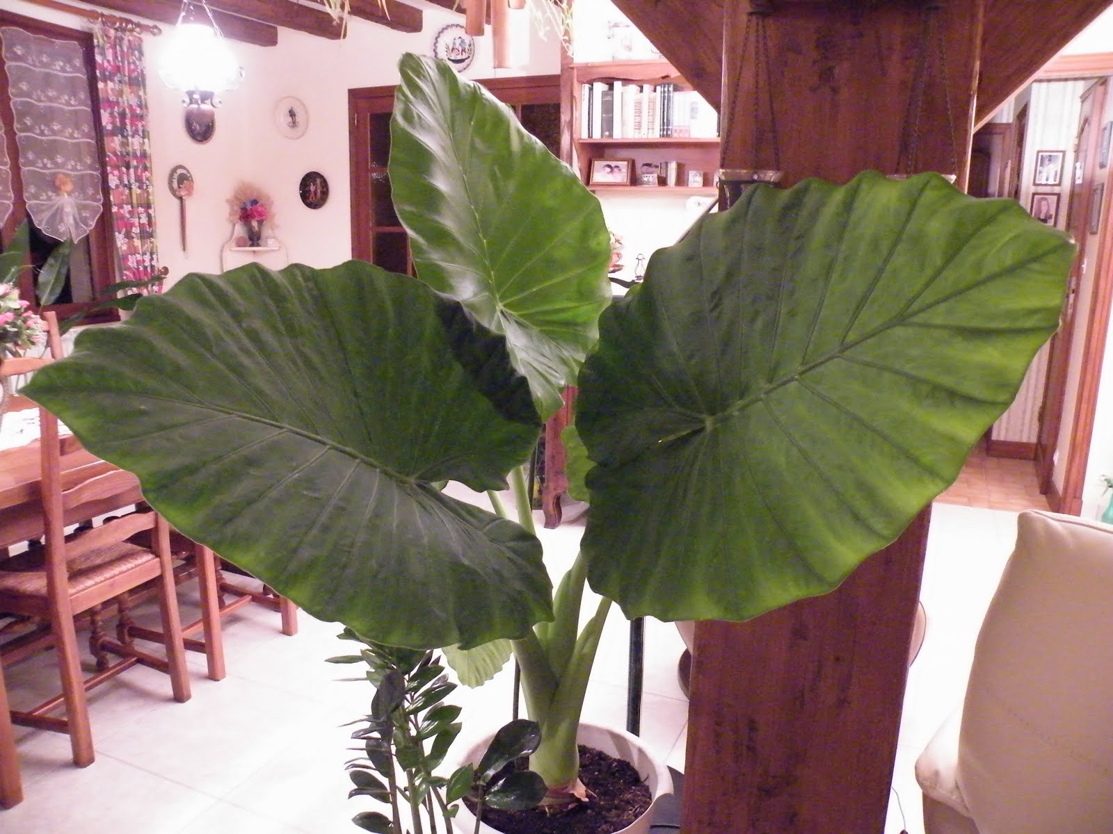 Du four au jardin et mes dix doigts plantes vertes for Plante 5 doigts bahamas