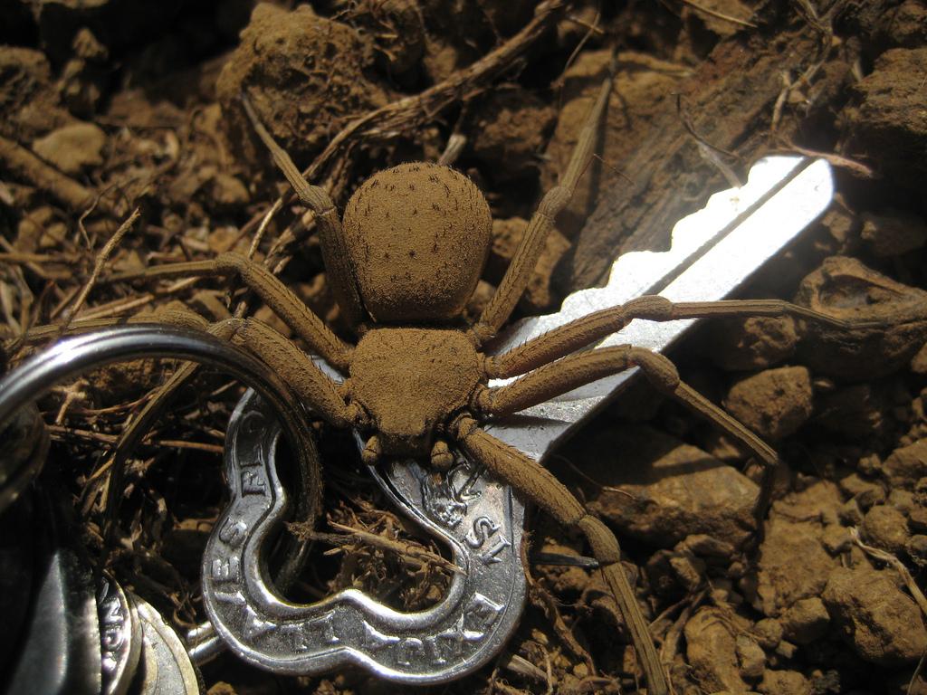 Sicarius Spider