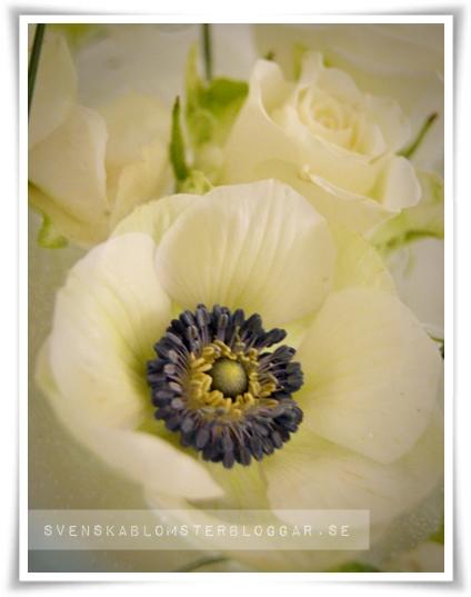 anemoner, anemones,  vit anemon, white anemones