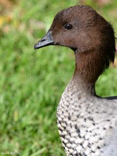fluffy duck