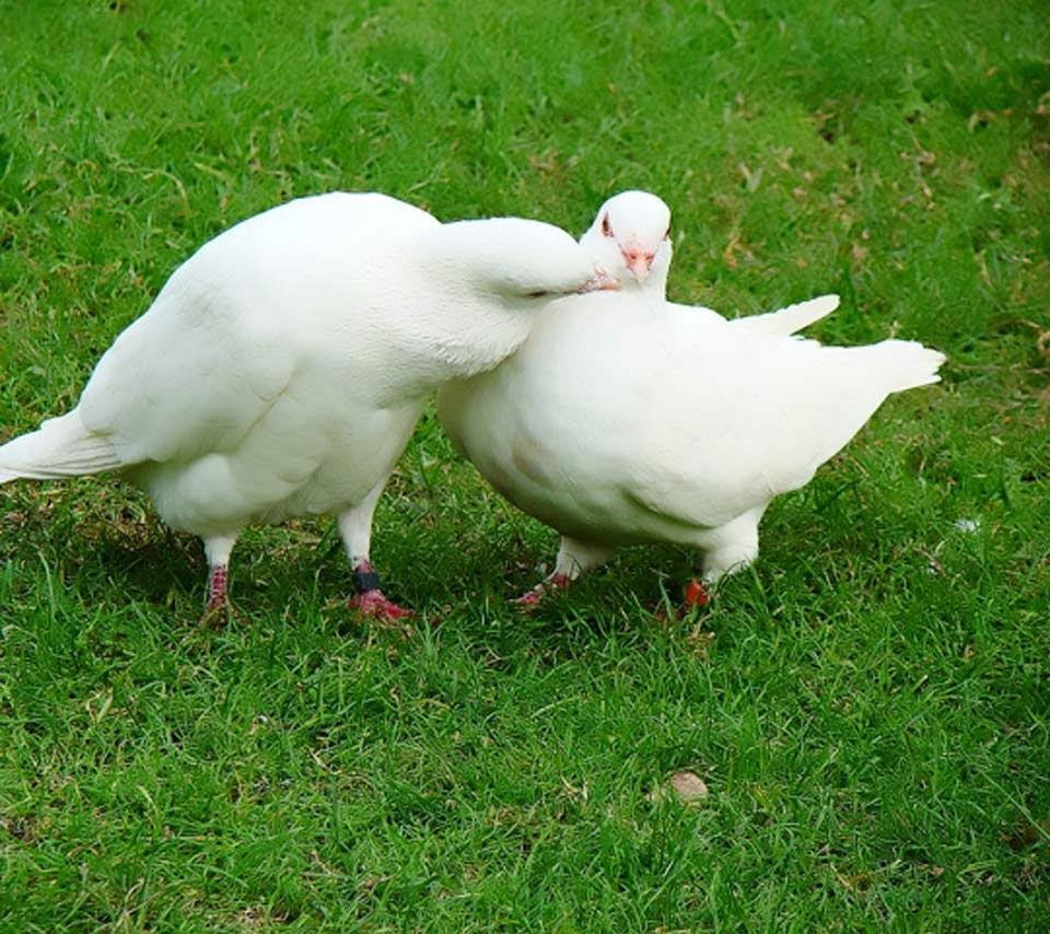 Release Dove Pigeon