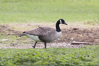 Once Upon a Time - Canada Goose