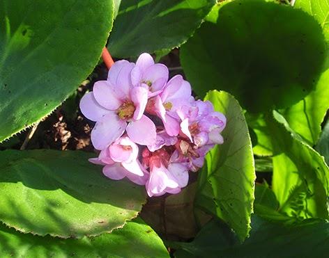 Flores de la Bergenia