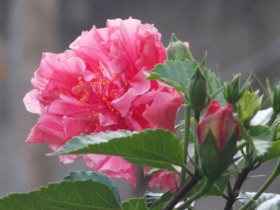 rosas no jardim de deus:TMVbijoux: Nova Tag no Blog, Flores do Jardim – Hibisco Rosa
