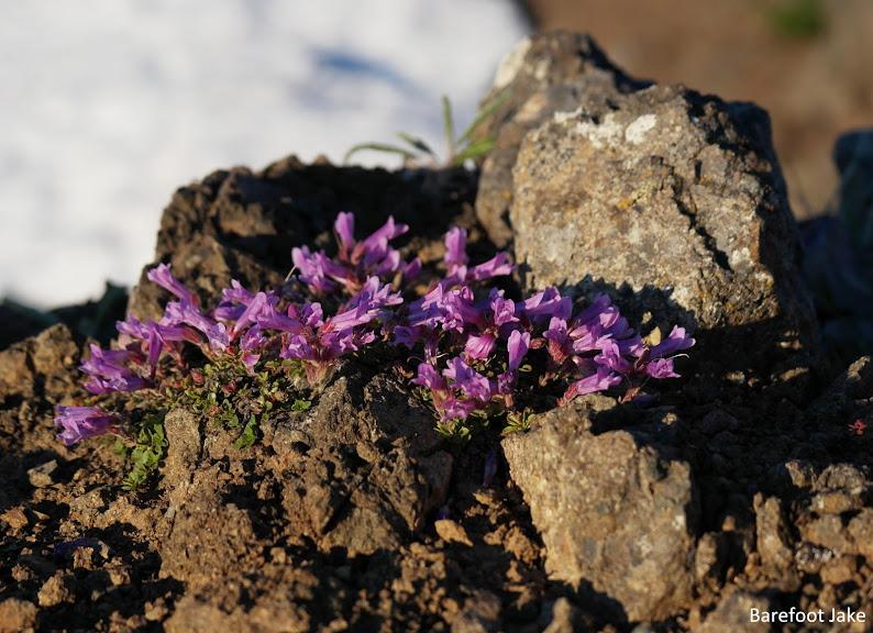 Purple Mountain Saxifrange