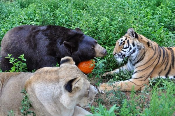 Trio beasts playing