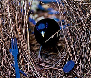 3 bowerbird 10 of the Weirdest Animal Instincts and Behaviors