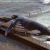 5 Penyebab Paus dan Lumba-Lumba Sering Terdampar