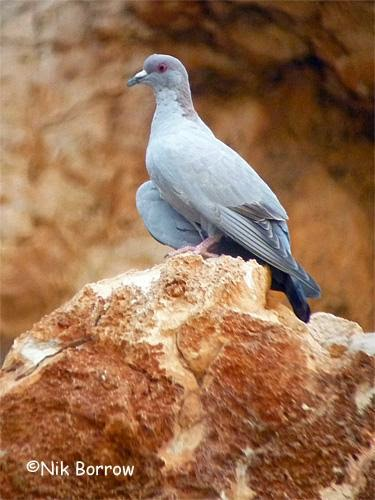 Somali pigeon Columba oliviae