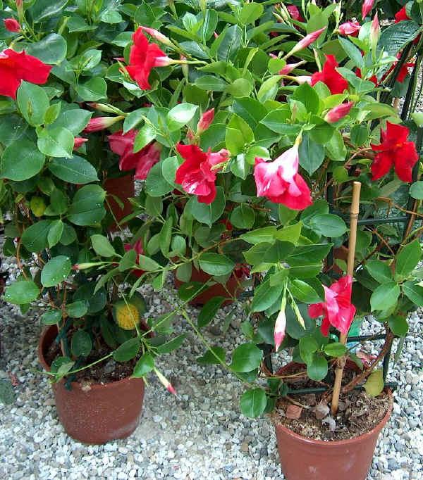 Ademar santana mudas de rosas estacas e enxertos for Piante invernali da esterno vaso