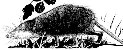 cretacic mammals Asioryctes