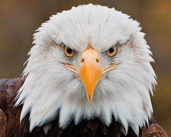Eagle's clear and keen eyesight - 8th fact