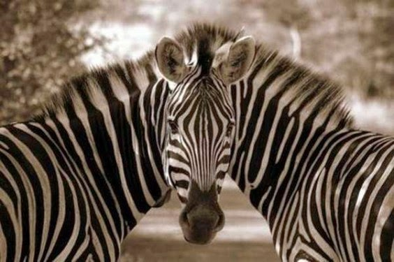 Two zebras with just one head