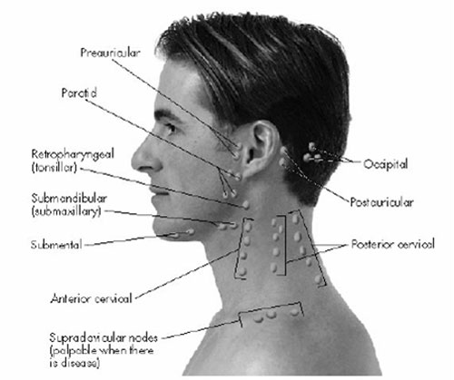 Picture2 Lymph Node Location of Head and neck