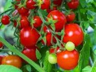 Cara Menanam Buah Tomat, cara menanam tomat, budidaya buah tomat, Budidaya tomat, menanam tomat