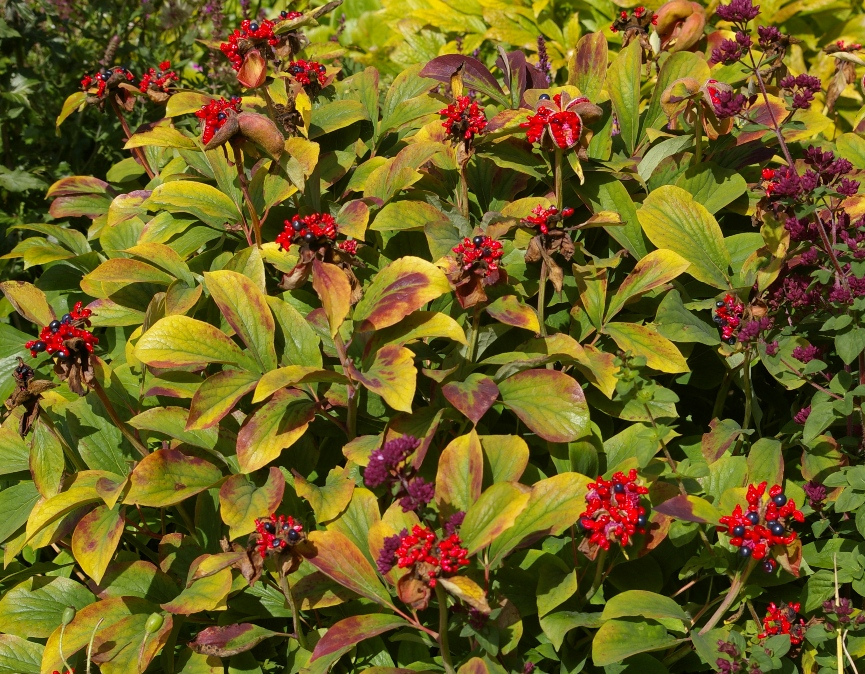 John grimshaw 39 s garden diary a third season of beauty for Arreda garden aurelia