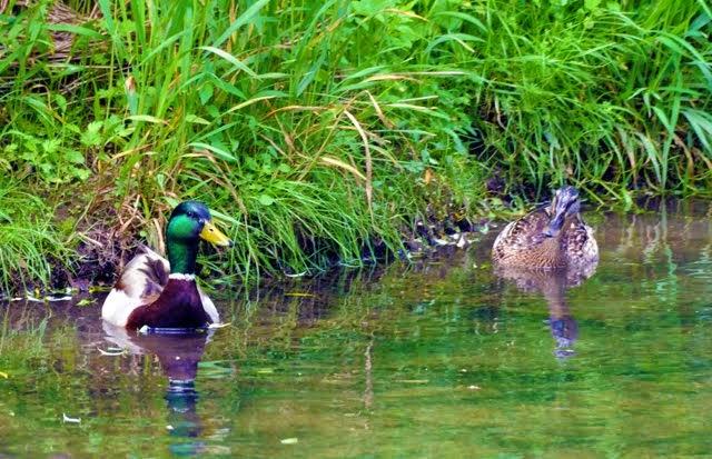 Mallard Ducks 019